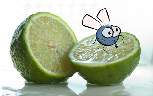 Fly-on-a-lime.png